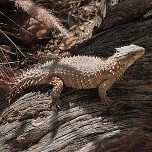 Giant girdled lizard - Image: Cordylus giganteus 2