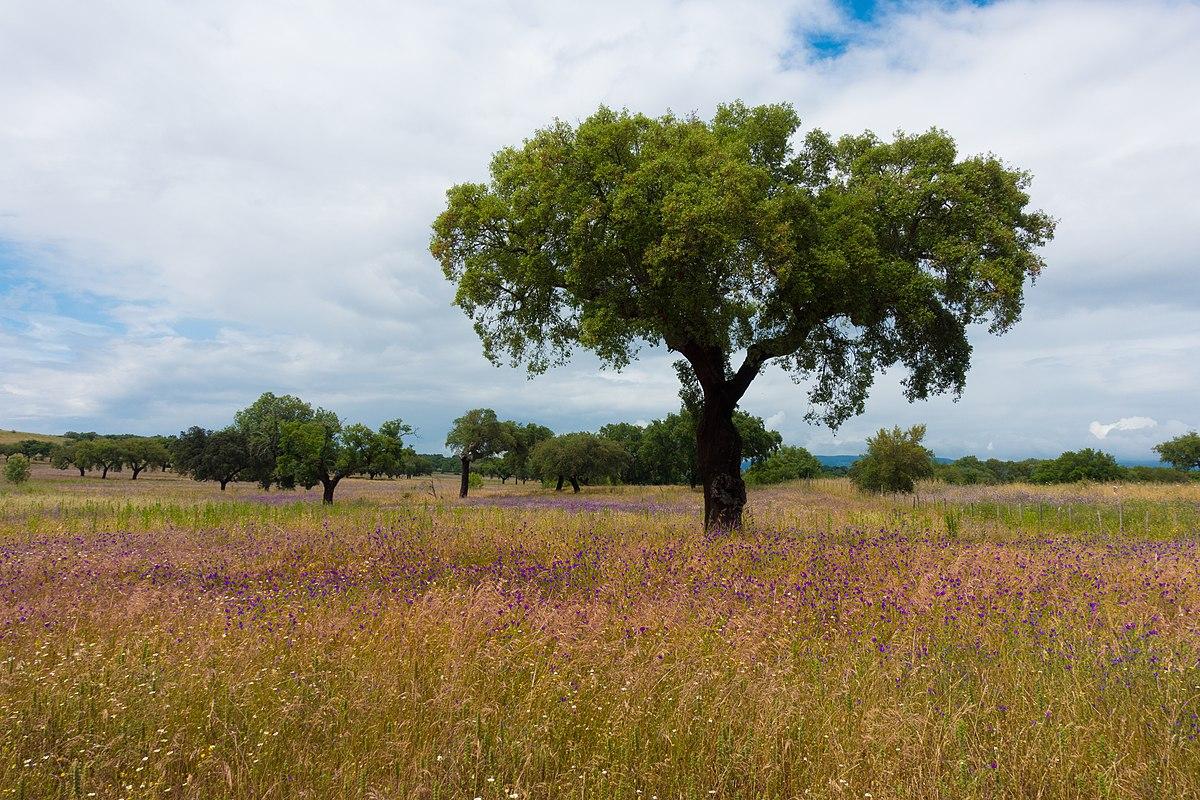Cork oak (28864190188).jpg