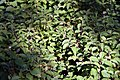Cornus sanguinea Midwinter 2zz.jpg