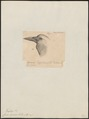 Corvus capensis - 1835 - Print - Iconographia Zoologica - Special Collections University of Amsterdam - UBA01 IZ15700243.tif