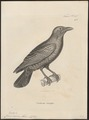 Corvus nasicus - 1700-1880 - Print - Iconographia Zoologica - Special Collections University of Amsterdam - UBA01 IZ15700247.tif
