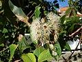 Corymbia (Eucalyptus) calophylla, Myrtaceae (25995846856).jpg