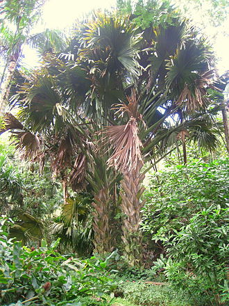 Corypha umbraculifera - Image: Corypha umbraculifera in Lyon Arboretum