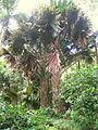 Corypha umbraculifera in Lyon Arboretum.jpg