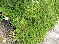 Cotoneaster adpressus - Botanischer Garten München-Nymphenburg - DSC07616.JPG