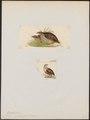 Coturnix asiatica - 1700-1880 - Print - Iconographia Zoologica - Special Collections University of Amsterdam - UBA01 IZ17100137.tif