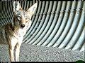 Coyote (9098579936).jpg