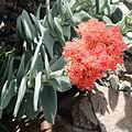 Crassula perfoliata var. falcata-IMG 0687.JPG