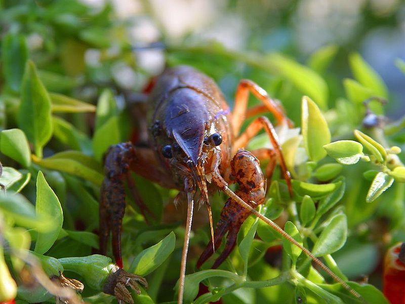 rak, crayfish