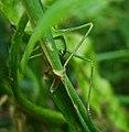 Crickets (3702708678).jpg