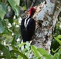 Crimson-crested Woodpecker. Campephilus melanoleucos - Flickr - gailhampshire (1).jpg