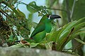 Crimson-rumped Toucanet 2015-06-08 (6) (38514877750).jpg