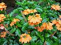 Crossandra infundibuliformis - Missouri Botanical Garden.jpg