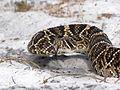 Crotalus adamanteus (Indian River County).jpg