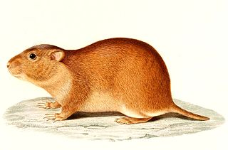 Brazilian tuco-tuco species of mammal