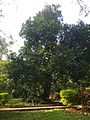 Cubbon park Jack Fruits tree.jpg