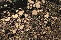 Cupriferous amygdaloidal basalt (Knowlton Flow, Portage Lake Volcanic Series, upper Mesoproterozoic, ~1.096 Ga; Caledonia Mine, Upper Peninsula of Michigan, USA).jpg