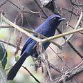 Cyanolyca pumilo (cropped).jpg