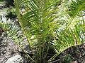 Cycas circinalis-1-yercaud-salem-India.JPG