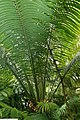 Cycas circinalis 23zz.jpg