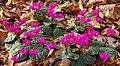 Cyclamen coum (d.j.b.) 02.jpg