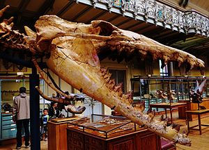 Cynthiacetus - Skull of C. peruvianus at the MNHN, Paris