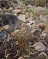 Cyperus dactylotes.jpg