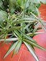Cyperus diffusus 'Variegata' 02.jpg