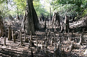 Taxodium - Cypress knees at low water, Wee Tee Lake, South Carolina