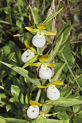 Cypripedium californicum - Flickr 004.jpg