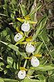 Cypripedium californicum - Flickr 004.jpg