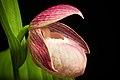 Cypripedium macranthos Sw., Kongl. Vetensk. Acad. Nya Handl. 21 251 (1800) (46953851405).jpg