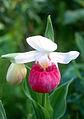 Cypripedium reginae (17600043605).jpg