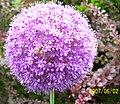 Díszhagyma virága Dunabogdányban.jpg