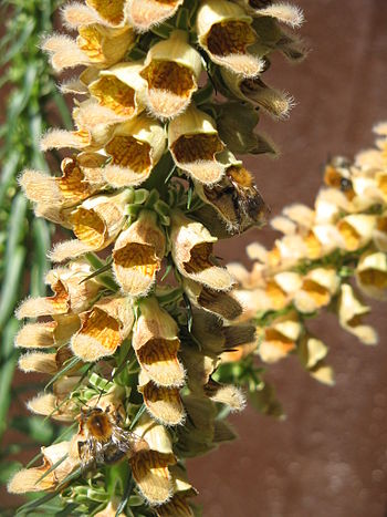 English: Digitalis ferruginea with honey bees