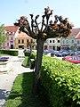 Dačice, Palackého náměstí, ořezané stromy.jpg