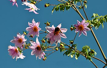 Dahlia - a wild species with a Indian Red Admiral and one Asiatic Honey Bee.jpg