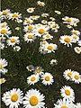 Daisies Field.jpg