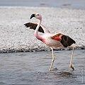 Dancing Flamingo.jpg
