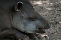 Danta tapir en Zoologico de Barquisimeto.jpg