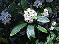 Daphne odora f. alba.JPG