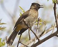 Dark-capped Bulbul (Pycnonotus tricolor) 1.jpg