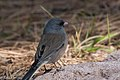 Dark-eyed Junco ( gray-backed) Rustler Park Chiricahuas AZ 2017-10-10 14-03-16 (26913553859).jpg