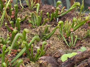 Darlingtonia californica - Plants in cultivation