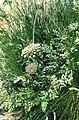 Daucus carota ssp gummifer 1.jpg