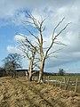 Dead trees. - geograph.org.uk - 1159903.jpg