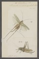 Decticus - Print - Iconographia Zoologica - Special Collections University of Amsterdam - UBAINV0274 066 01 0043.tif