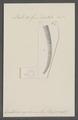 Dentalium aprinum - - Print - Iconographia Zoologica - Special Collections University of Amsterdam - UBAINV0274 081 10 0040.tif