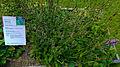 Der Heilziest, die Echte Betonie, Betonica officinalis oder Stachys betonica 01.jpg