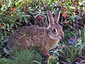 Desert Cottontail in yard 2013-01-04 (1).jpg
